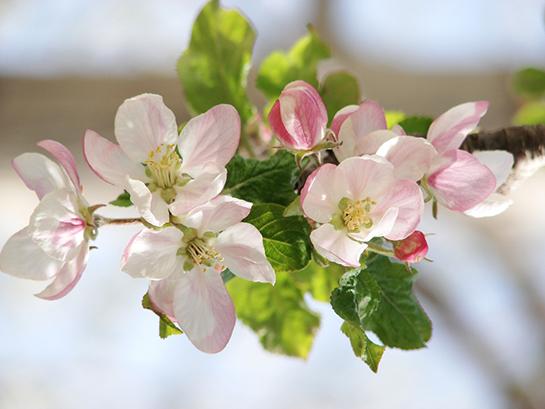 Elma çiçeği Kullanımı Ve Faydaları Elmagentr